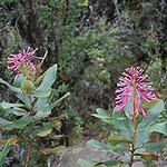 Mon, 06/30/2014 - 4:07pm - Oreocallis (Proteaceae), native to the high Andes