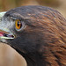 Golden Eagle Closeup