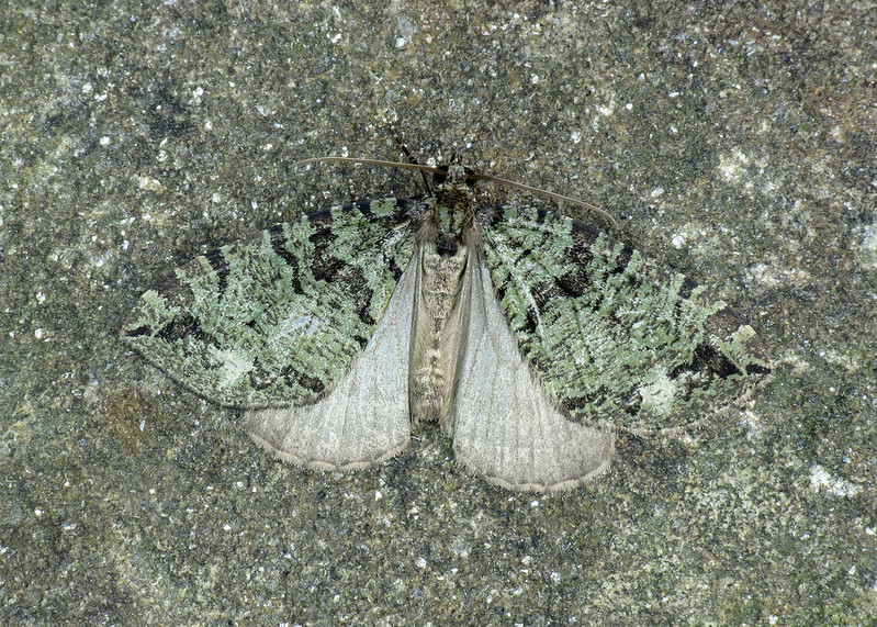 1777 July Highflyer - Hydriomena furcata