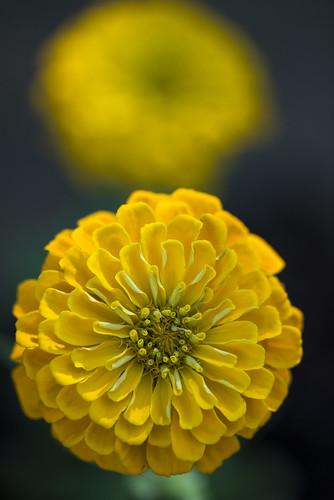 flowers flower denver yellowflower macrophotography denverbotanicalgardens sigma105mmmacrolens