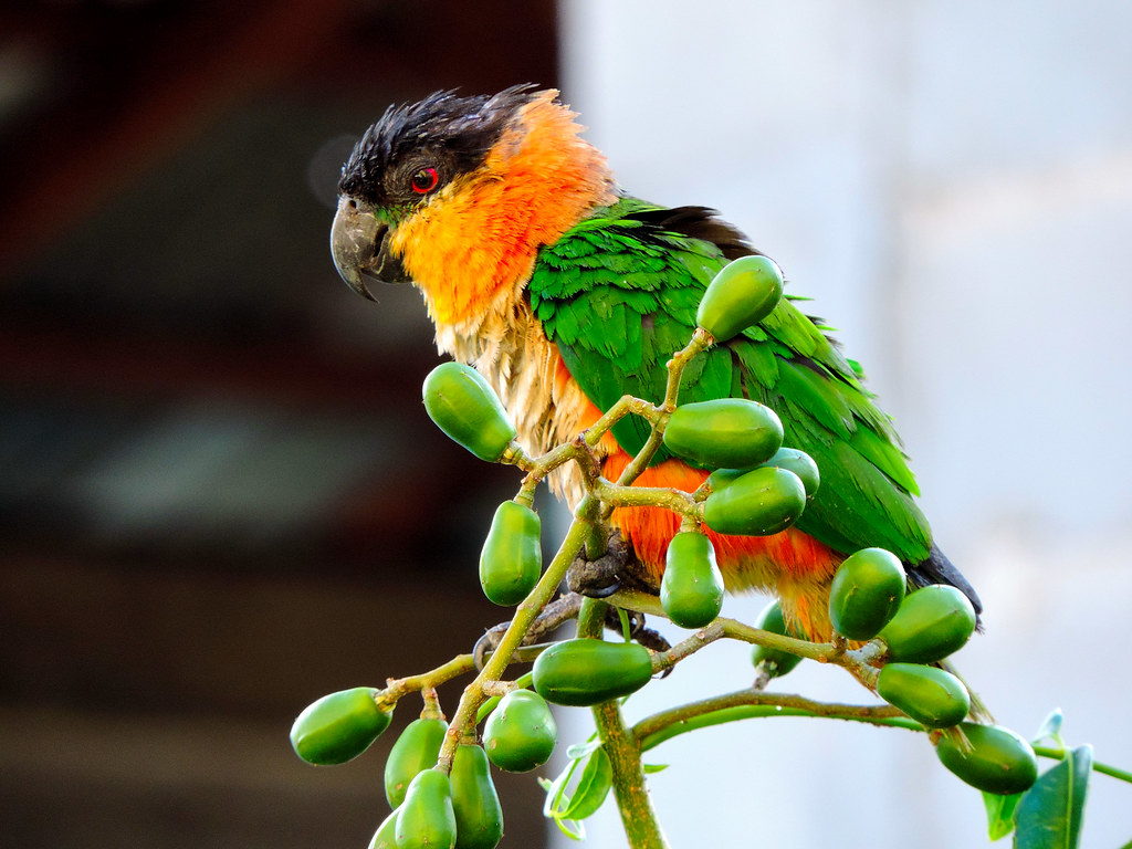 Black-headed Parrot - Brickdam