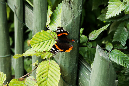 An image of a Red Admiral.