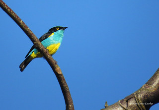 Dacnis lineata | by Mary Torres E.