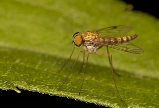 Long-legged fly_2 | by IshranI