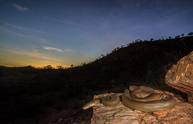Olive Python enjoying the Sunset