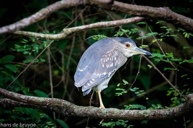 Night Heron (dutch: Kwak)
