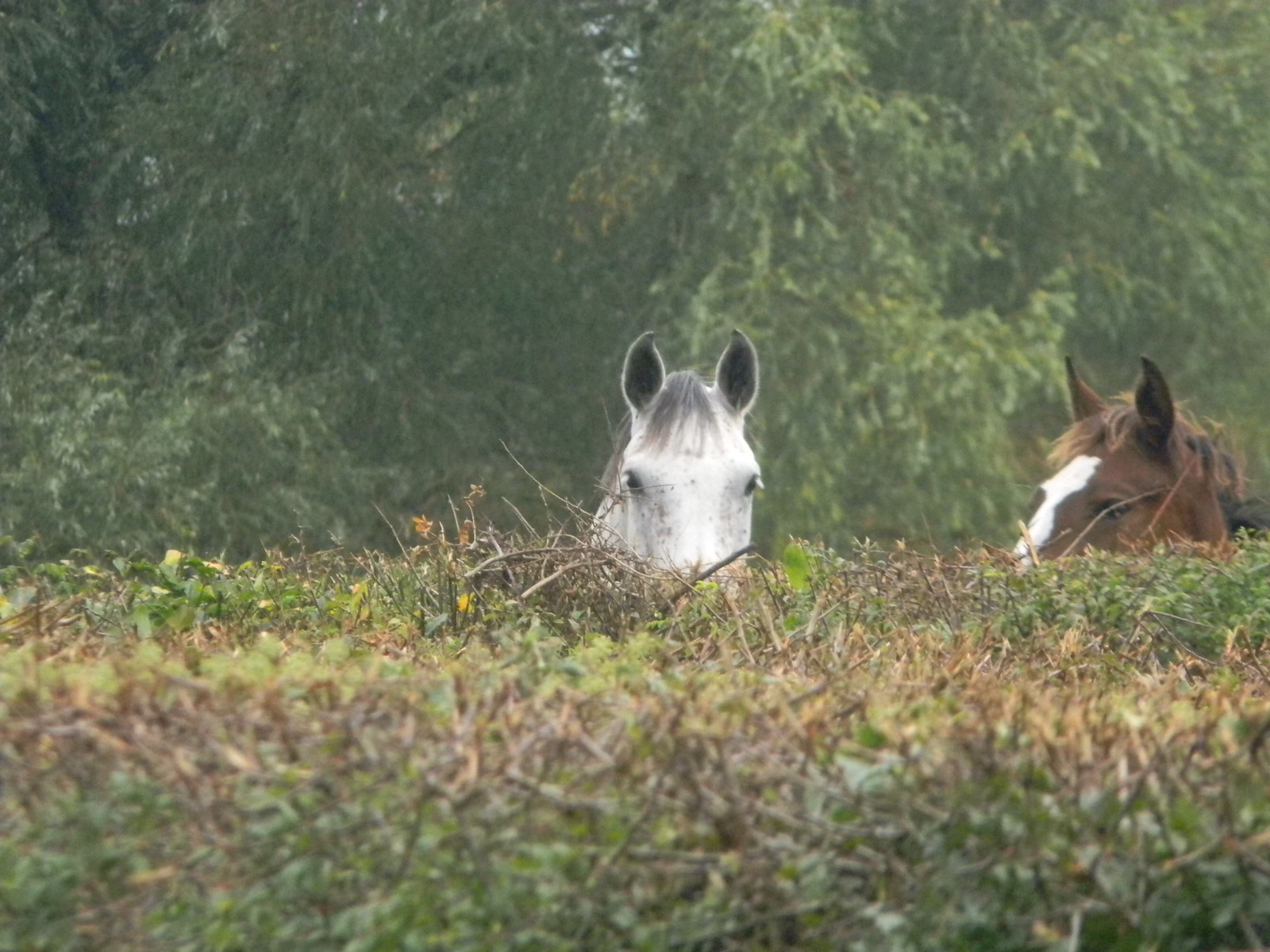 Horse Pies I mean horse spies....Ockley to Warnham