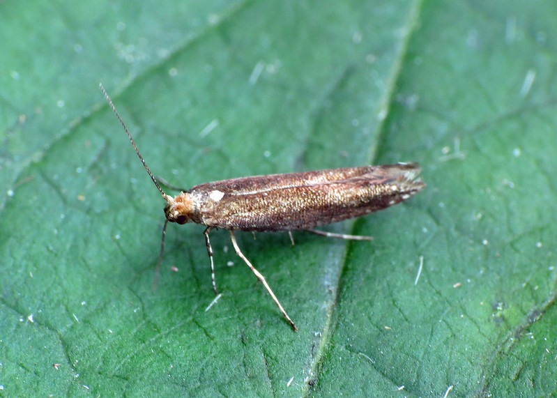 20.019 Apple Fruit Moth - Argyresthia conjugella f.aerariella ?