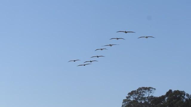 MVI_0533 overflight of brown pelicans