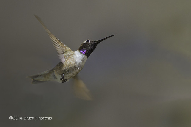 Male Black-chinned Hummingbird Does Acrobatics