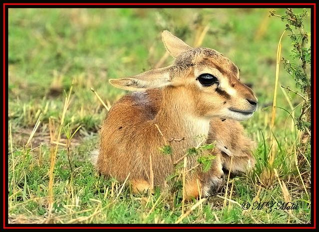 THOMSON'S GAZELLE FAWN (Gazella thomsoni)......MASAI MARA......SEPT 2013