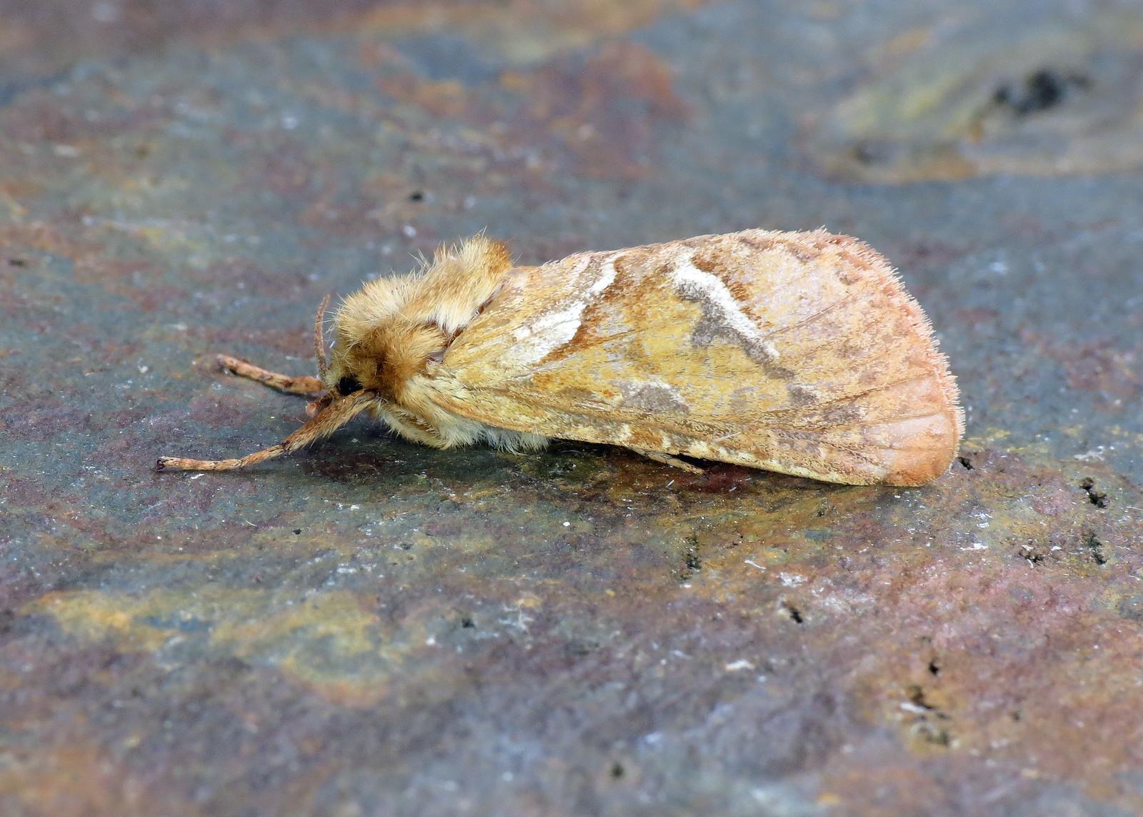 3.001 Orange Swift - Hepialus sylvina
