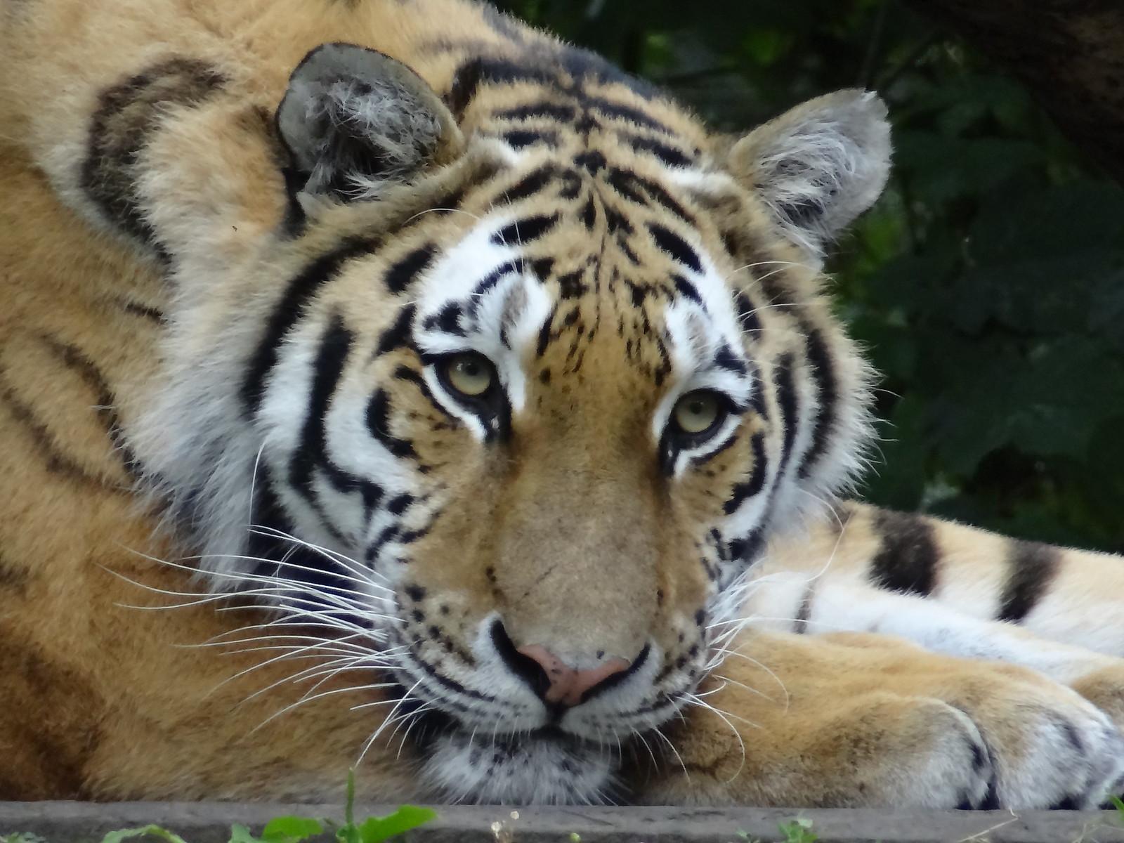 Panthera tigris - Cat Scanner