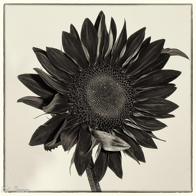 Chocolate  Sunflower,  Sepia