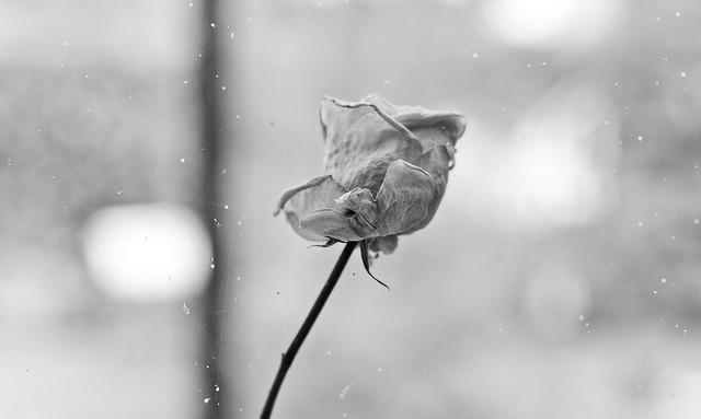 dried rose (b&w) (explored)