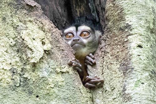 Spix's Night Monkey.jpg