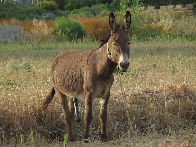 an aroused mule in a Stelida farm field IMG_5349
