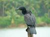 Indian Cormorant by SivamDesign