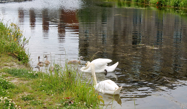 Royal Canal Swans 2