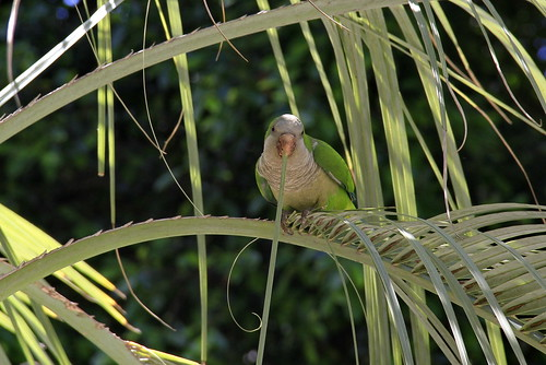 Monk Parakeet, severing palm frond, Cadiz_MG_5612 | by Hart Walter