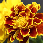 Colors of July: Marigolds