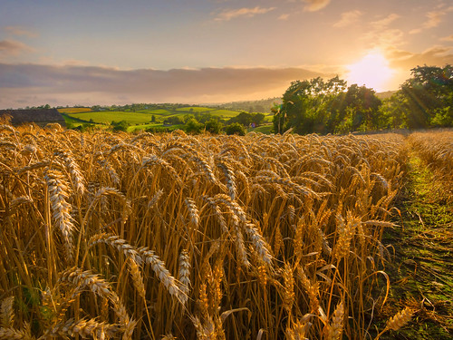 morning field standing sunrise canon landscape golden early scenery view farm wheat grain cereal harvest straw ears wideangle august crop northernireland rotation growing farmer 1022mm ripening ripe ulster countydown arable tillage 70d alanhopps