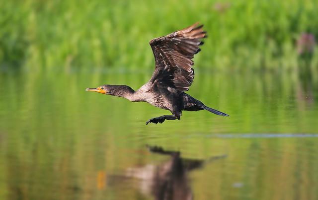 jeune corrmoran en vol  / flying double crested cormorant