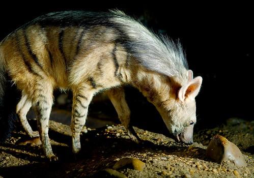 Aardwolf (Proteles cristatus)_7 | by guppiecat
