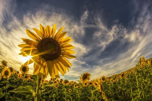 newjersey nj fisheye sunflowers augusta 8mm hdr sunflowerfield 8mmfisheye handheldhdr sunflowermaze bower8mmfisheye libertyfarms sussexcountysunflowermaze
