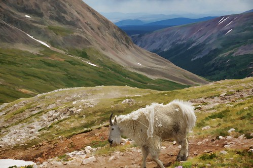 colorado painted goat goats shedding mountaingoat mountdemocrat mtdemocrat posterprint rockymountaingoat oreamnosamericanus gettinghigh2014 mtdemocrattrail
