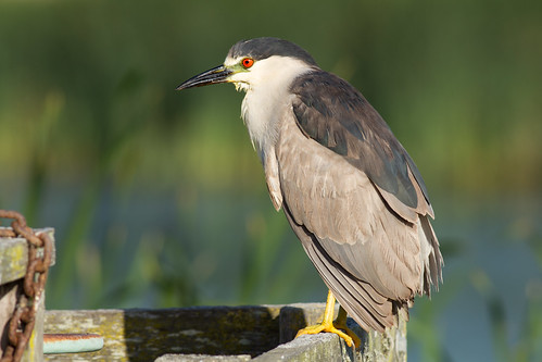Black-crowned Night-Heron [Explored] | by wikiphotographer
