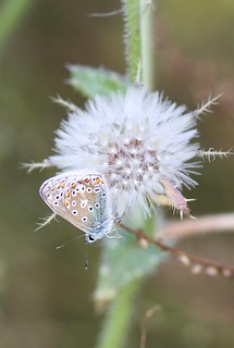Common Blue (Polyommatus icarus), by Peter Alfrey | by Beddington Farmlands