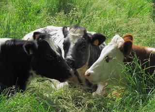 Belgian Cows   by John Spooner