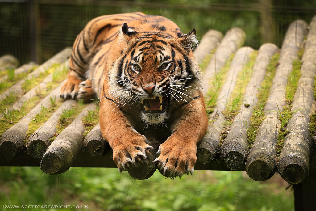 Fury Of A Tiger