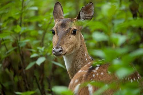 ngc karnataka wildlifesafari brhills spotteddear nikond610 brttigerreserve jlrkgudiwildernesscamp