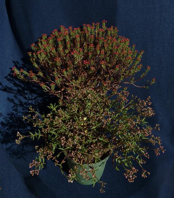 Crassula sarcocaulis ssp. sarcocaulis