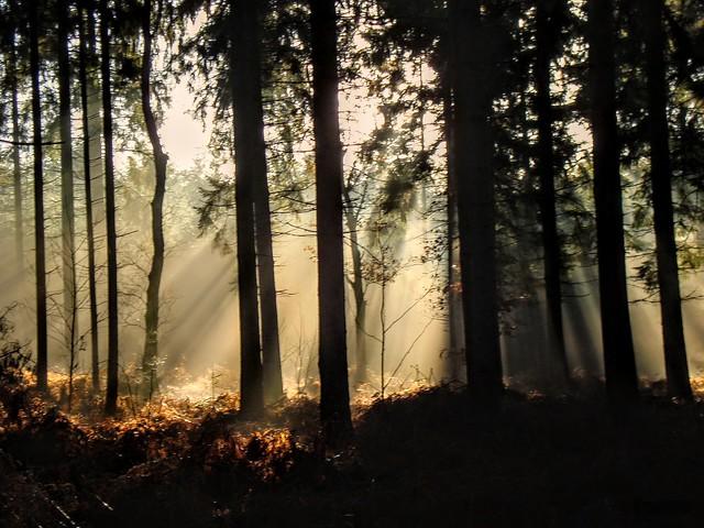 Dappend woud nabij de Lage Vuursche.