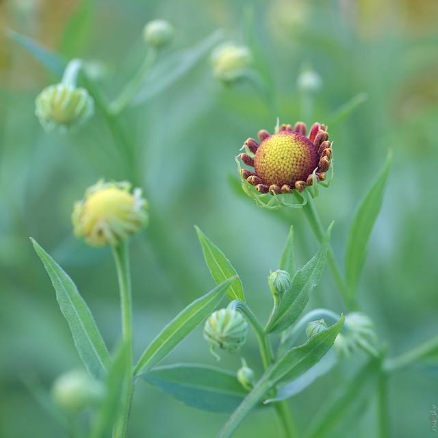 RUS57668(Helenium Buds)