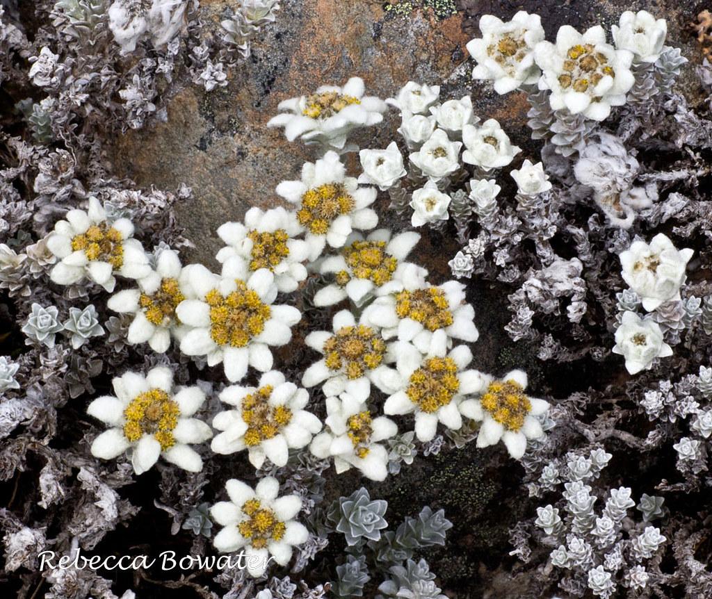 Edelweiss Leucogenes grandiceps Amuri skifield Hanmer