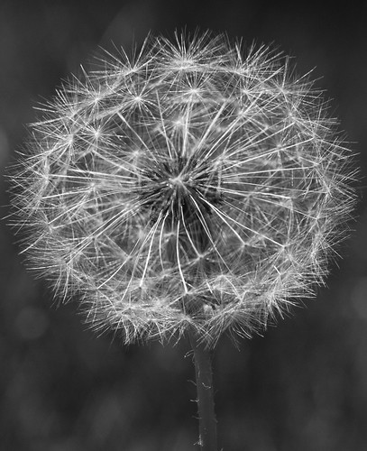 Dandelion | by Me in ME