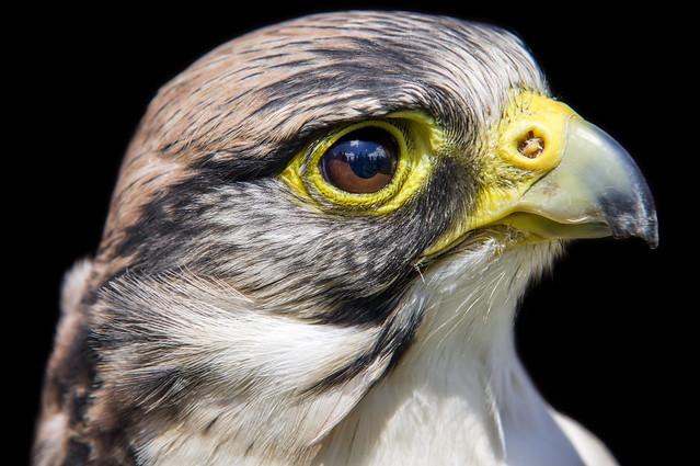 Hawk-eyed (_K3_6690) (Explored)