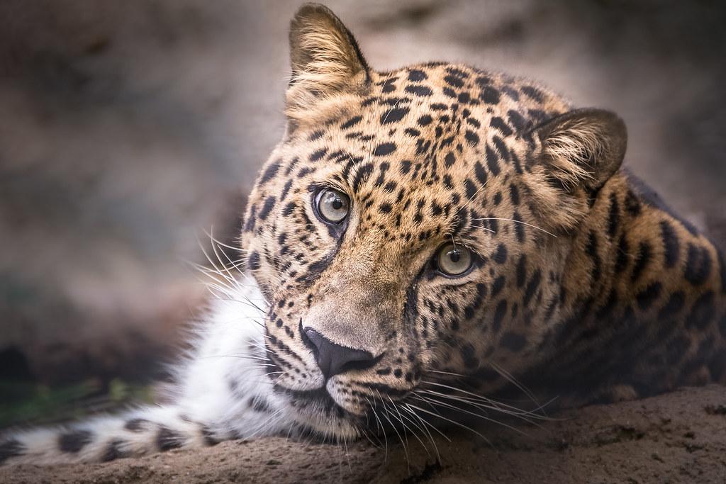 Amur Leopard Stare