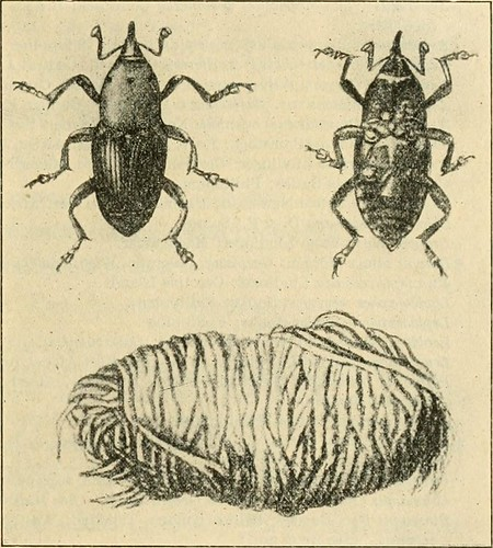"""Image from page 208 of """"A manual of dangerous insects likely to be introduced in the United States through importations"""" (1917)"""