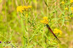 Monarch Butterfly-6989
