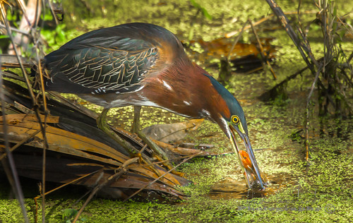 A green Heron using a Lizard as bait for fish I took quite a few images and he flew to different areas of the pond. He would dunk the lizard into the water as if he was fishing for something more tasteful | by Dan Copeland Photography Hamilton Ontario