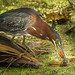 A green Heron using a Lizard as bait for fish I took quite a few images and he flew to different areas of the pond. He would dunk the lizard into the water as if he was fishing for something more tasteful