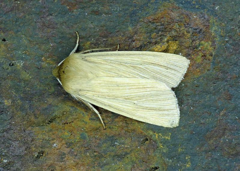 2199 Common Wainscot - Mythimna pallens