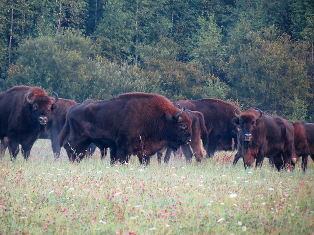 Herd Of Wild European Bisons (Bison bonasus) In Their Only Natural Habitat In The Bialowieza Forest - East Poland