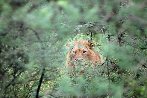 Jake's lion in bush