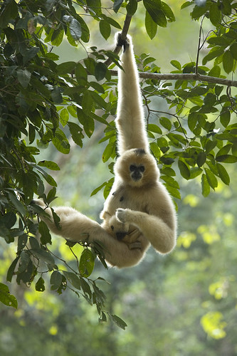 Female white cheeked gibbon with young infant Yunnan China